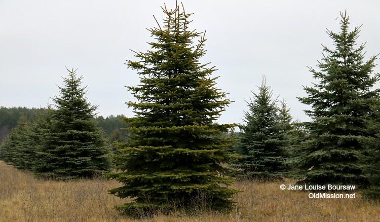 Fresh-Cut Christmas Trees at Switz.R.Land Evergreen Tree Farm | Jane Boursaw Photo
