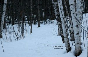 Snowshoeing Through Birch Tree Lane | Jane Boursaw Photo