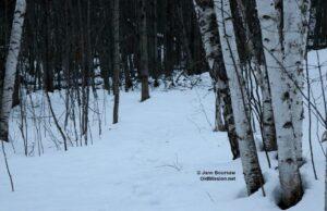 Snowshoeing Through Birch Tree Lane | Jane Boursaw Photo
