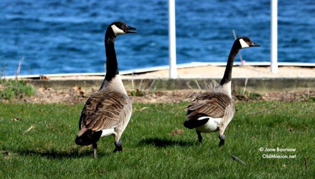 survey, Canadian Geese, Neahtawanta