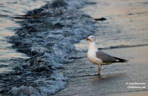 seagull, clinch park beach