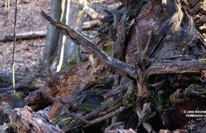 Gnarled Woods