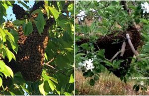 Bee Swarms, Bees
