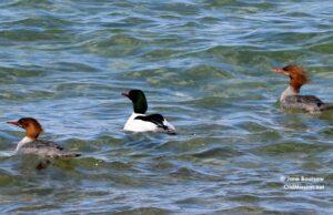 Ducks, Bluff Road, The Bluffs