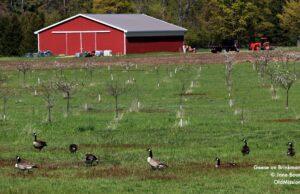 Geese, Brinkman Road