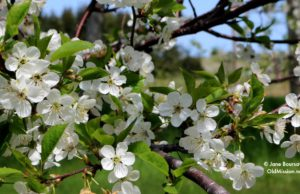 Tart Cherry Blossoms