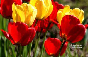tulips, center road