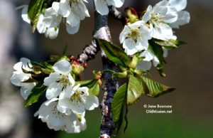 cherry blossoms, blossoms, old mission peninsula