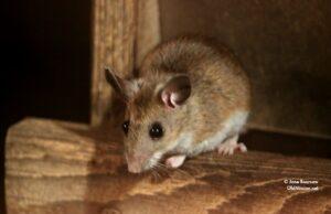mouse, bird feeder