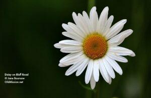 daisy, bluff road