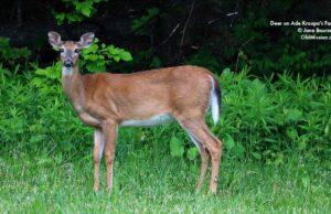 Deer, Ade Kroupa, Kroupa