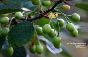 Green Tart Cherries, Neahtawanta