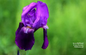 iris, flowers, bluff road, tug boursaw