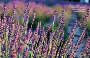 Brys Estate, Wineries, Lavender