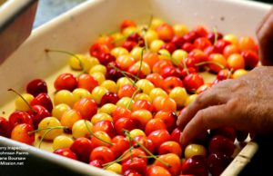 cherries, cherry harvest, cherry, johnson farms