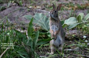bunny, garden