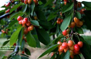 cherries, light sweet cherries, johnson farms