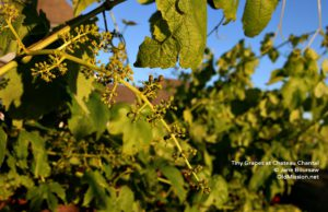 grapes, wineries, chateau chantal, vineyards
