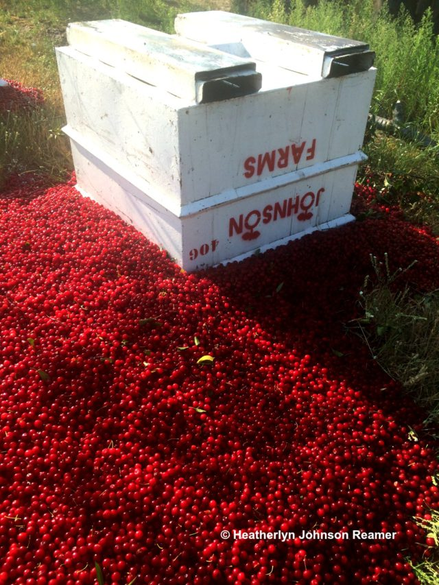 cherries, cherry harvest, cherry diversion, johnson farms