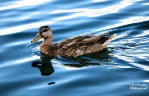 duck, ducks, birds, clinch park, traverse city