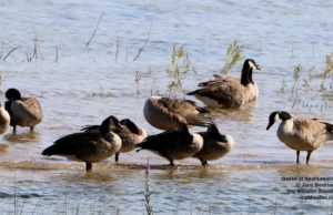 geese, neahtawanta, birds of old mission