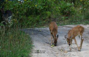 deer, apples, apple trees