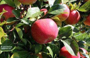 apples, the 40, apple season, fall