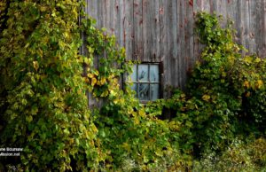 barn, kroupa road, vines