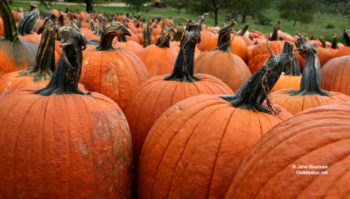 edmondson orchards, pumpkins