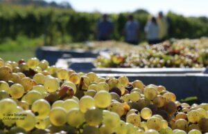 grapes, grape harvest, dan dohm