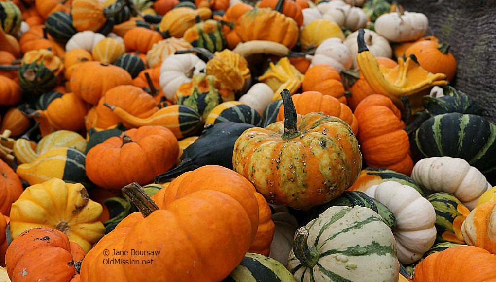 pumpkins, gourds, holman farms