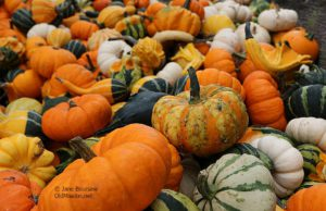 pumpkins, gourds, holman farms