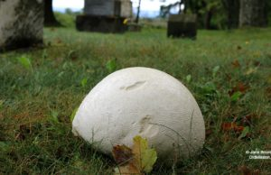 puffball, ogdensburg cemetery