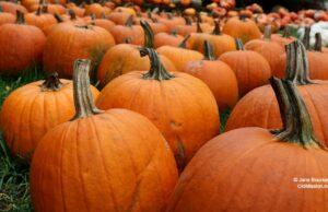 pumpkins, peninsula community library, vicki shurly