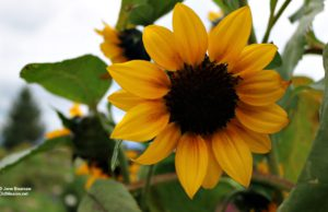 Sunflower, flowers, old mission flowers, ginny dohm coulter, grief support group