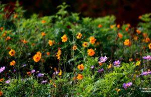 hawthorne vineyards, wildflowers