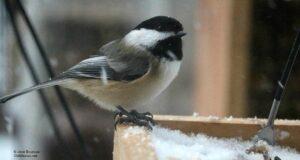 birds, chickadee, winter, first snow