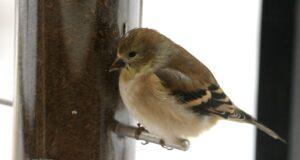 finch, goldfinch, feeder, birds of old mission