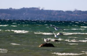 seagulls, mission point lighthouse, west bay