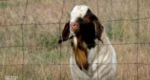 goat, old mission, swaney road