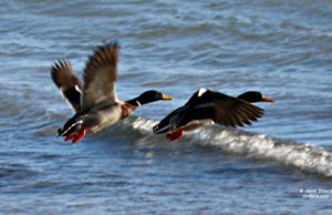 ducks, old mission peninsula, birds of old mission