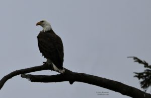 eagle, birds of old mission, bluff road