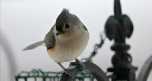 birds, birds of old mission, tufted titmouse, feeder