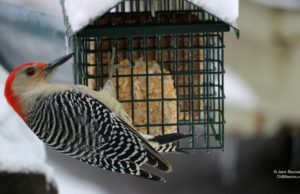 woodpecker, birds of old mission