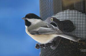 chickadee, birds, birds of old mission