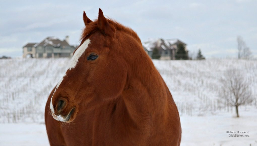 horse, horses of old mission peninsula, dean johnson, rude farm, old mission peninsula, old mission, old mission michigan, walter rude, ruth rude, old mission gazette, peninsula township