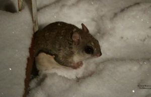mouse, winter