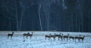 deer, bull brothers, swaney road, peninsula drive