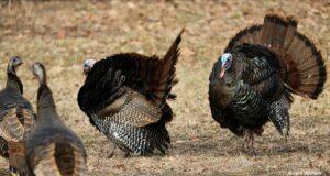 turkeys, bluff road, kroupa, gobbles