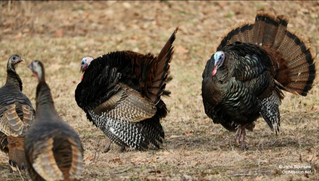 free thanksgiving dinner, turkeys, bluff road, kroupa, gobbles